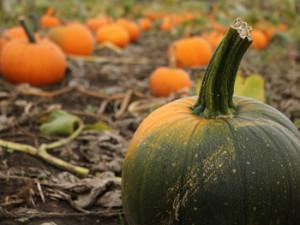 pumpkin2-350